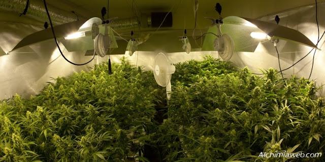 Culture du Cannabis en intérieur