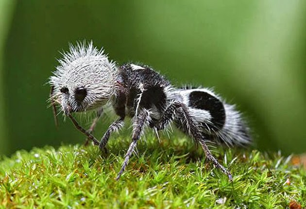 La hormiga panda u hormiga de terciopelo