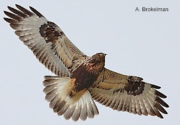 Rough-legged Hawk (light)