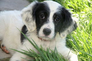 English Setter Puppy Picture