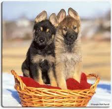German-Shepherd-puppies-4