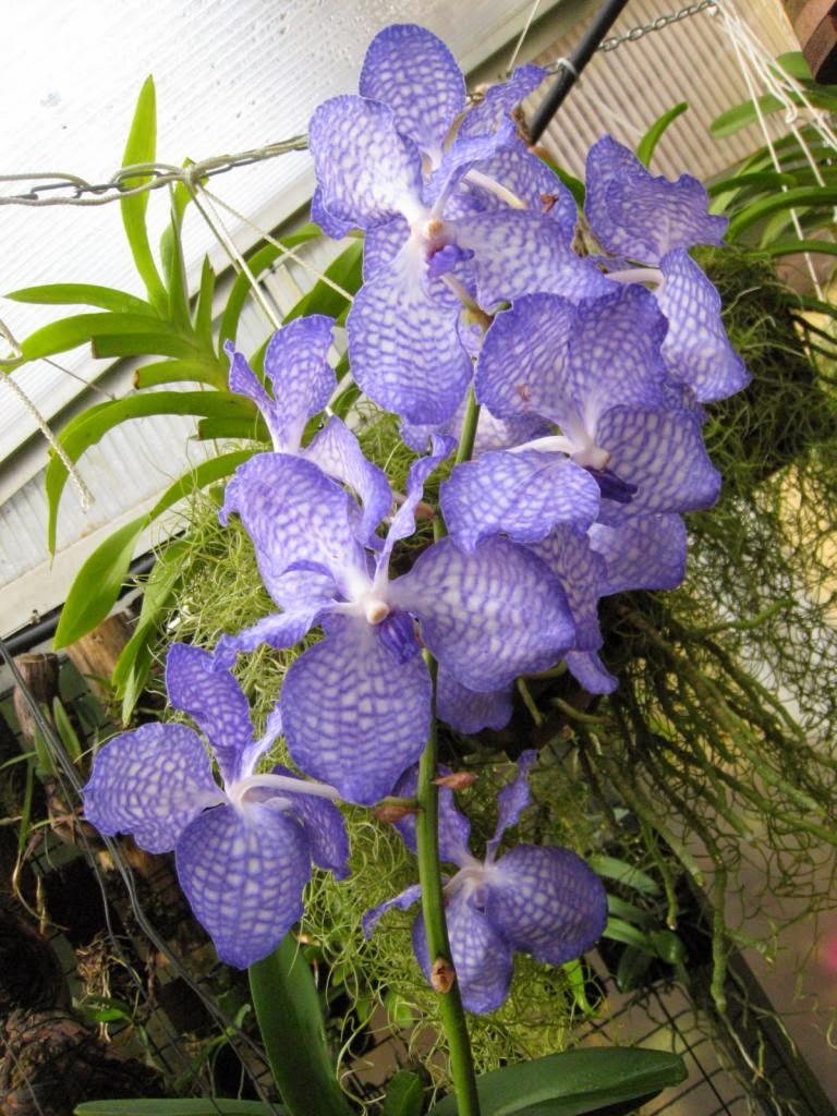 vanda coerulea flores exoticas
