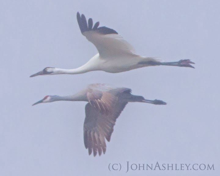 Sandhill and Whooping Crane flying together (c) John Ashley