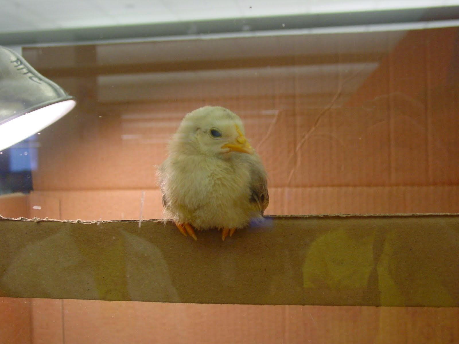 Egg and Baby Chick Webcam Link