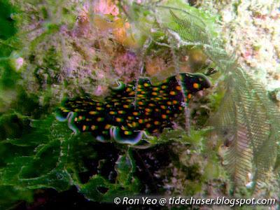 Thysanozoon Flatworm (Thysanozoon sp.)
