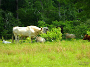 Cows in the field (cows unity )