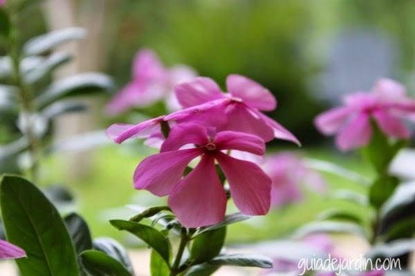 Flores de vinca