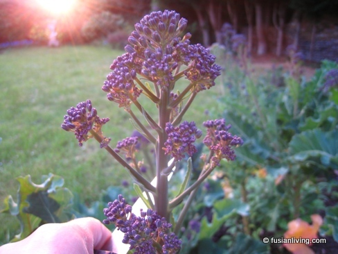 Mature Purple Sprouting Broccoli sprouting flowers