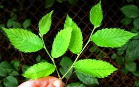 Natural Herbs for Asthma Treatment