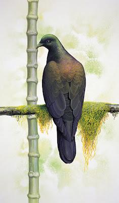 Bonin woodpigeon