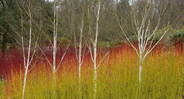 plant a silver birch in your garden