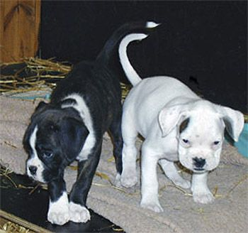 White and black boxer dog - photo#24