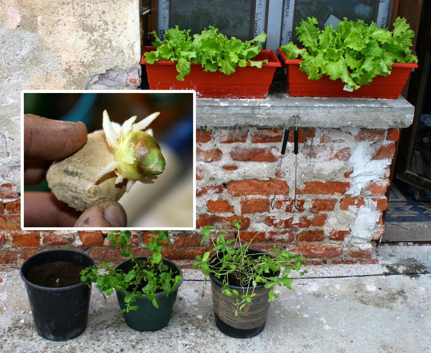 Rooted root ginger, and the new herb garden