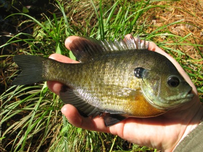 North american freshwater fishing best lures for catching for Freshwater pond fish