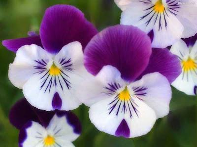 gambar bunga sakura kamboja teratai