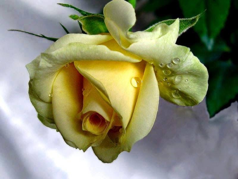 Esta é sua Rosa...