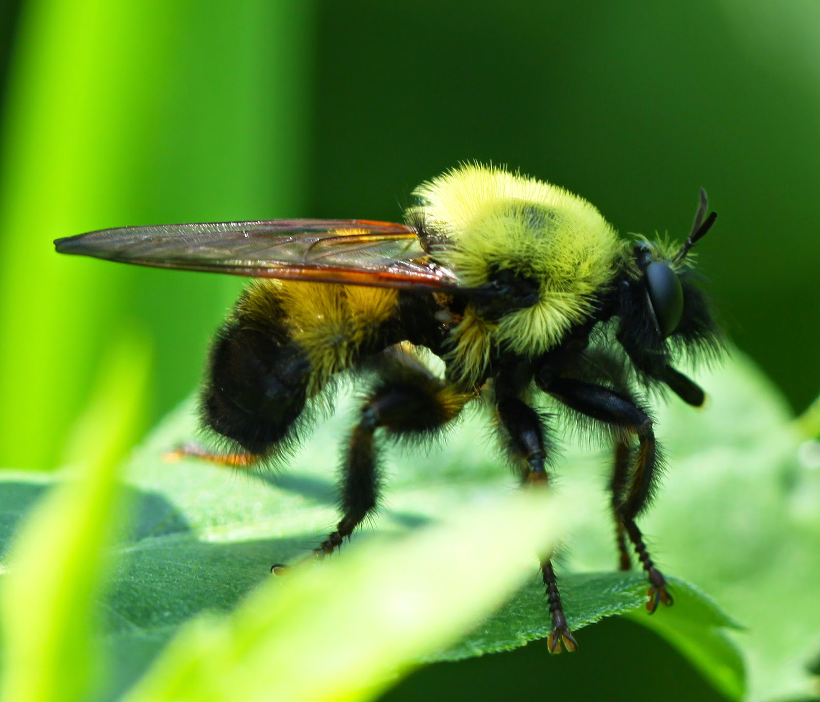 all of nature robber fly bumblebee mimic eating real bumblebees