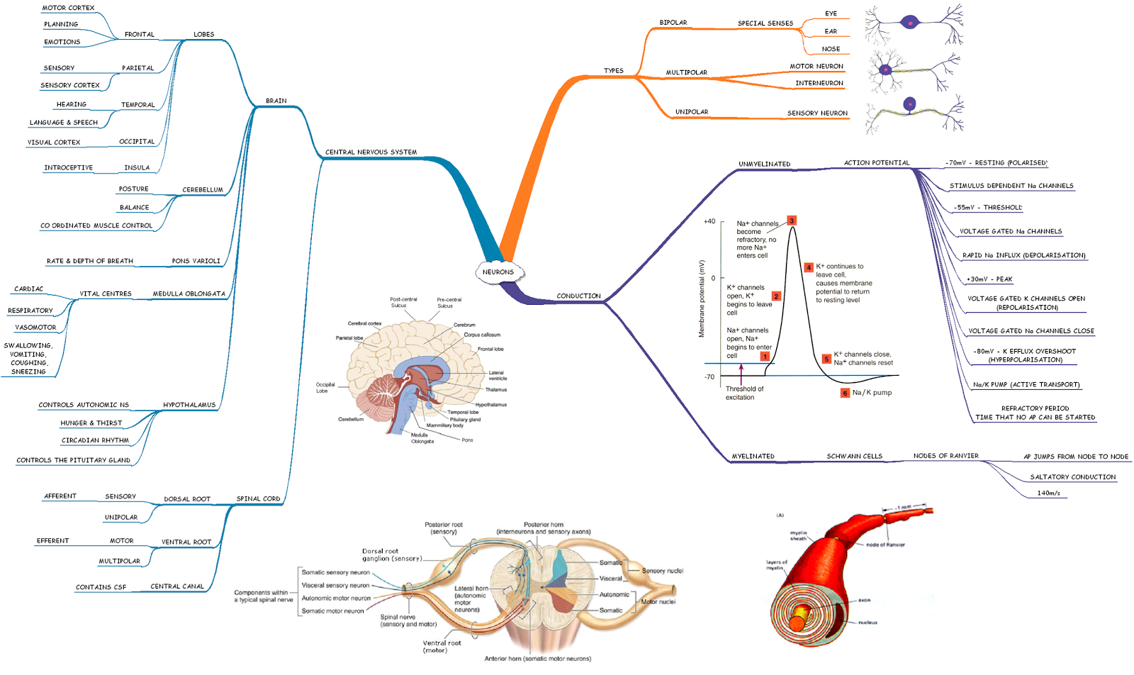 Mind Map Of Neurons And Central Nervous System 12 Atar Human Biology