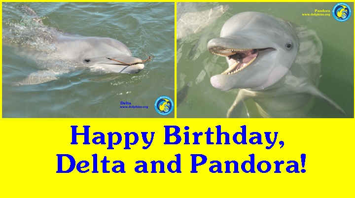 dolphin research center happy birthday delta and pandora  happy birthday delta and pandora
