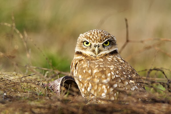 Burrowing Owl Facts - All About OWL
