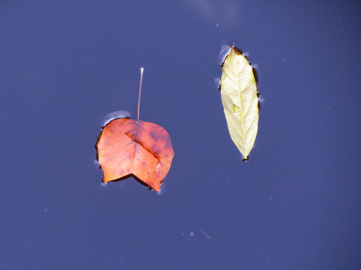 floating orange and green leaf II