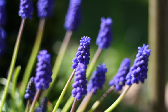 happy gardening - traubenhyazinthen - grape hyacinth