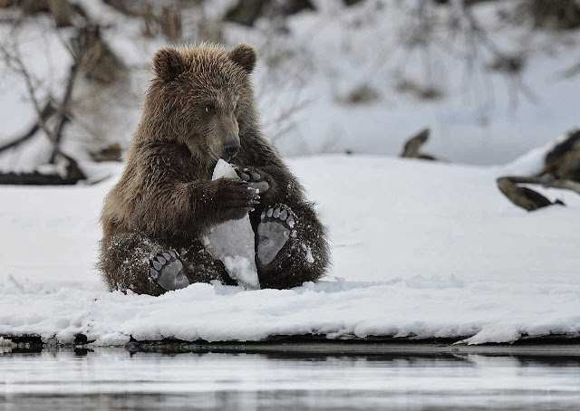 Funny animals of the week - 20 December 2013 (40 pics), bear playing in the snow