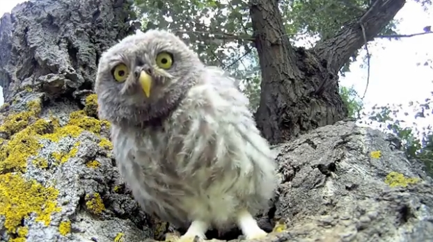 Family Of Little Owls Discover A Camera Outside Their Den (VIDEO)