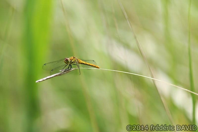 animaux insecte libellule macro Épisy Seine-et-Marne