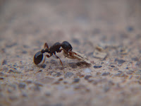 Original black ant macro