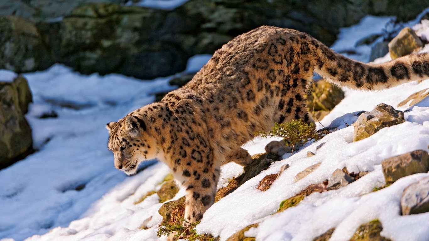 Leopards diet - photo#19