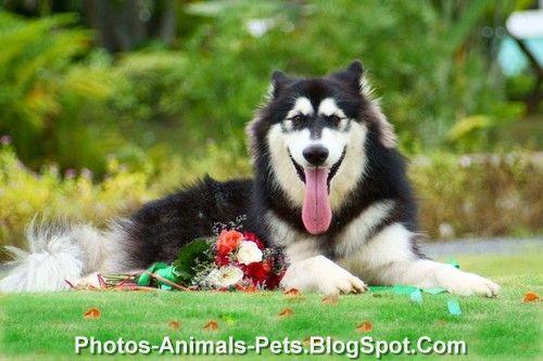 http://1.bp.blogspot.com/-0161pFqh-Rs/TplfwLMFPOI/AAAAAAAACDQ/OReIvut7IOU/s1600/Husky%2Bdog_.jpg