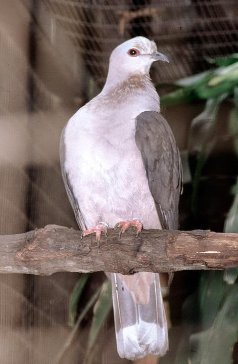 Dark backed imperial pigeon Ducula lacernulata