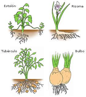 Cuaderno de ciencias naturales esquemas explicativos de for Planta ornamental que se reproduzca por esquejes