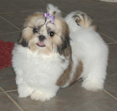 Cute Shih Tzu Puppies Photos Cute Puppies Pictures Puppy Photos
