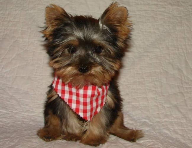 fanciful-teacup-yorkshire-terrier-puppies-for-adoption_7743753.jpg