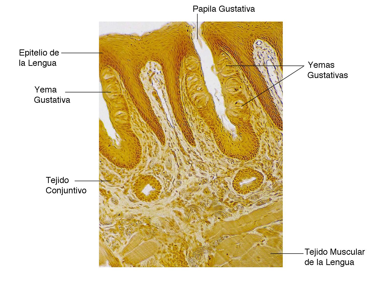 el moderno prometeo: Anatomía del gusto y el olfato.