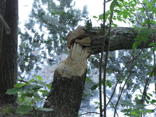 beaver felled tree