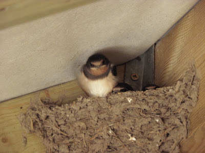 Swallows getting ready to fly
