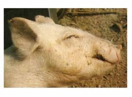 Bệnh phù do E. coli gây ra trên heo con.