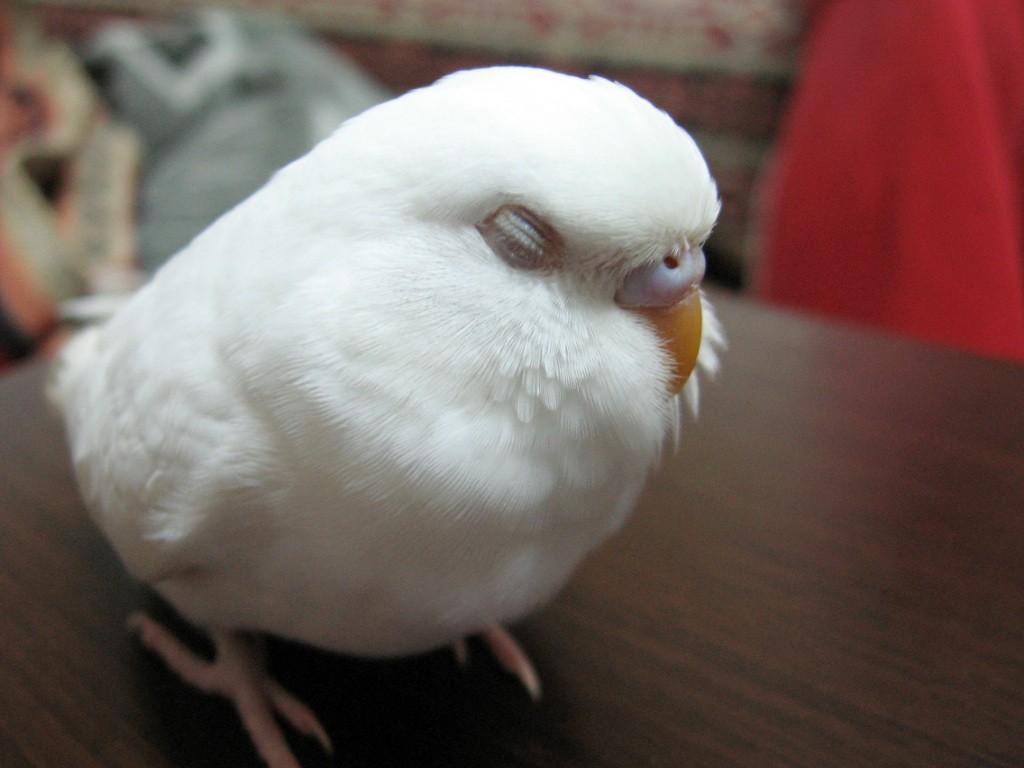 Muhabbet Kuşu Muhabbet Kuşları Eğitimi üremesi Ocak 2013