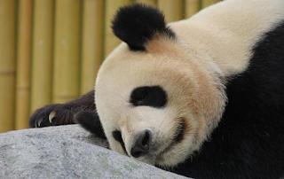 У Китаї померла найстаріша у світі панда