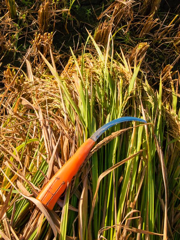 rice_plant