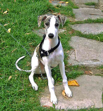Whippet Puppies on Whippet Puppies Pictures Information