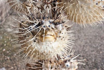 Diodon hystrix Gepunkteter Igelfisch Spot-fin porcupinefish