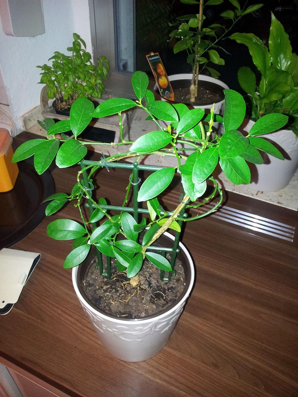 Zimmerpflanzen Südseite zimmerpflanzen tagebuch