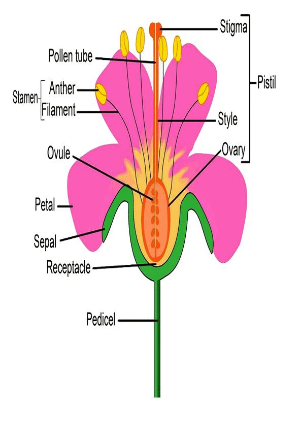 dibujo de partes de la flor