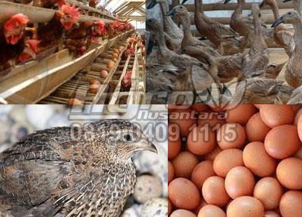 cara praktis Tingkatkan Produktifitas TELUR Ayam Bebek Puyuh Dengan Produk Organik NASA (Kombinasi Viterna, POC NASA, dan AMNE)   Info & Order : 081904091115   www.agrotaninusantara.com