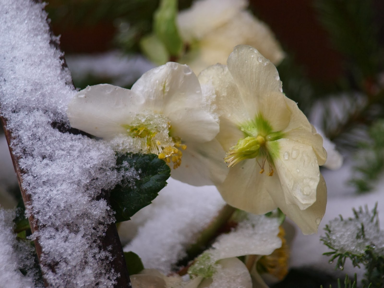 Blomster i haven om vinteren. Hvide Helleborus med sne på