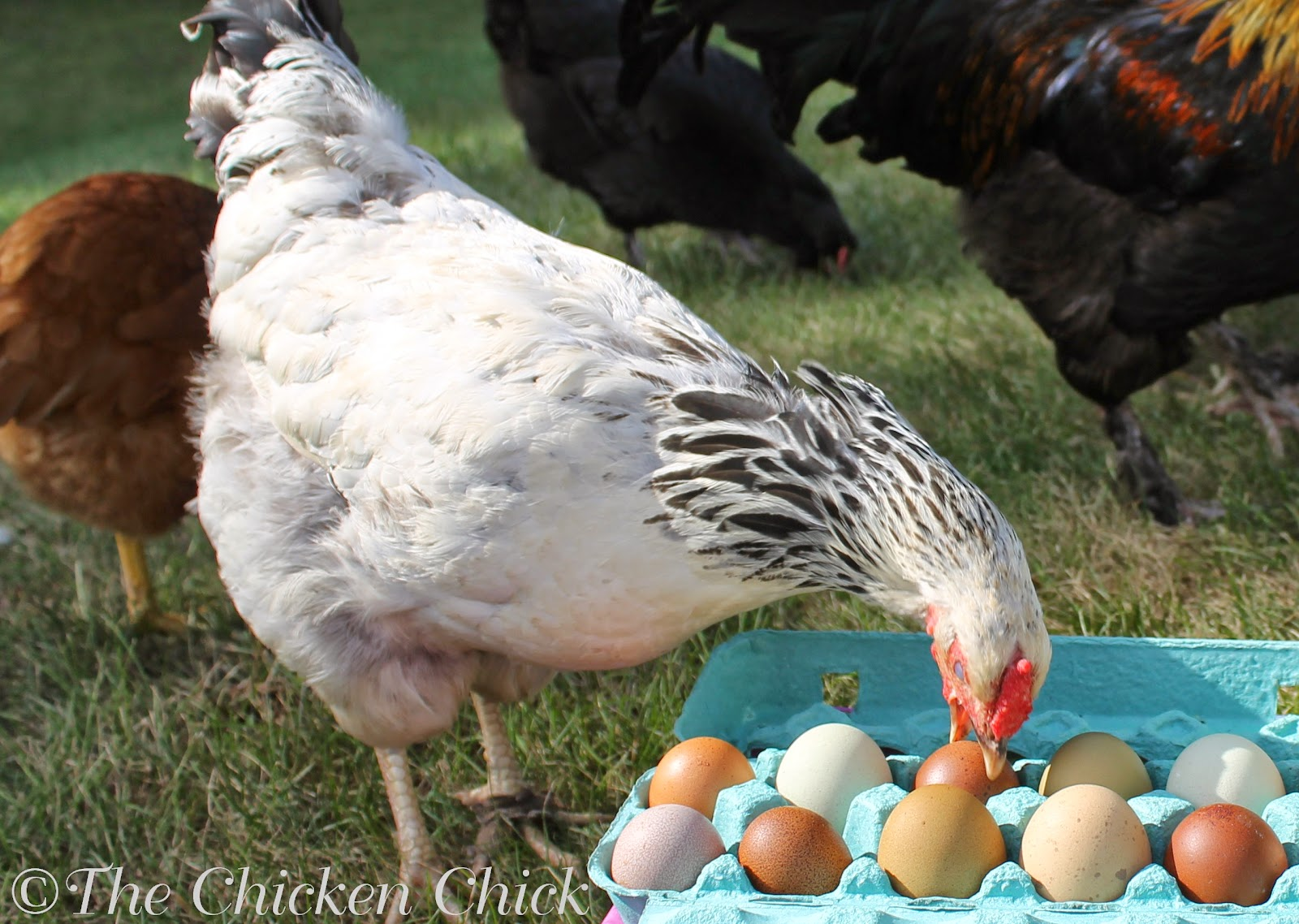 egg-eating is a habit that should be discouraged as soon as possible after discovery. Not only does it reduce the number of eggs available for collection, it is also a habit that is quickly learned by other flock members.